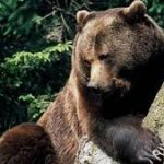 Réintroduction de l'ours dans la forêt de Chantilly